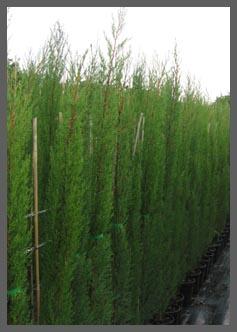 Onwijs Mediterrane bomen - Producten – De Olijfgaard CK-49