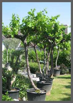 Nieuw Mediterrane bomen - Producten – De Olijfgaard XO-72