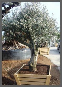 Boom In Pot Buiten.Verzorging Olijfbomen Citrusbomen Palmbomen De Olijfgaard