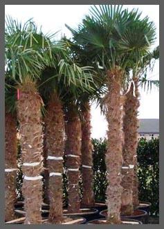 Palmboom verzorging