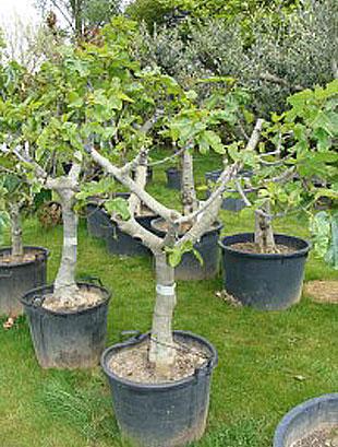 Soorten vijgenbomen